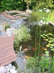 Bassin naturel avec carpes Koï, et cascade, paysagiste Saint Herblain